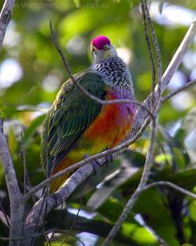 Rose-Crowned Fruit-Dove by Birdway