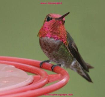 Anna's Hummingbird (Calypte anna) by S Slayton