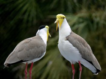 Masked Lapwings at Lowry Park Zoo by Lee